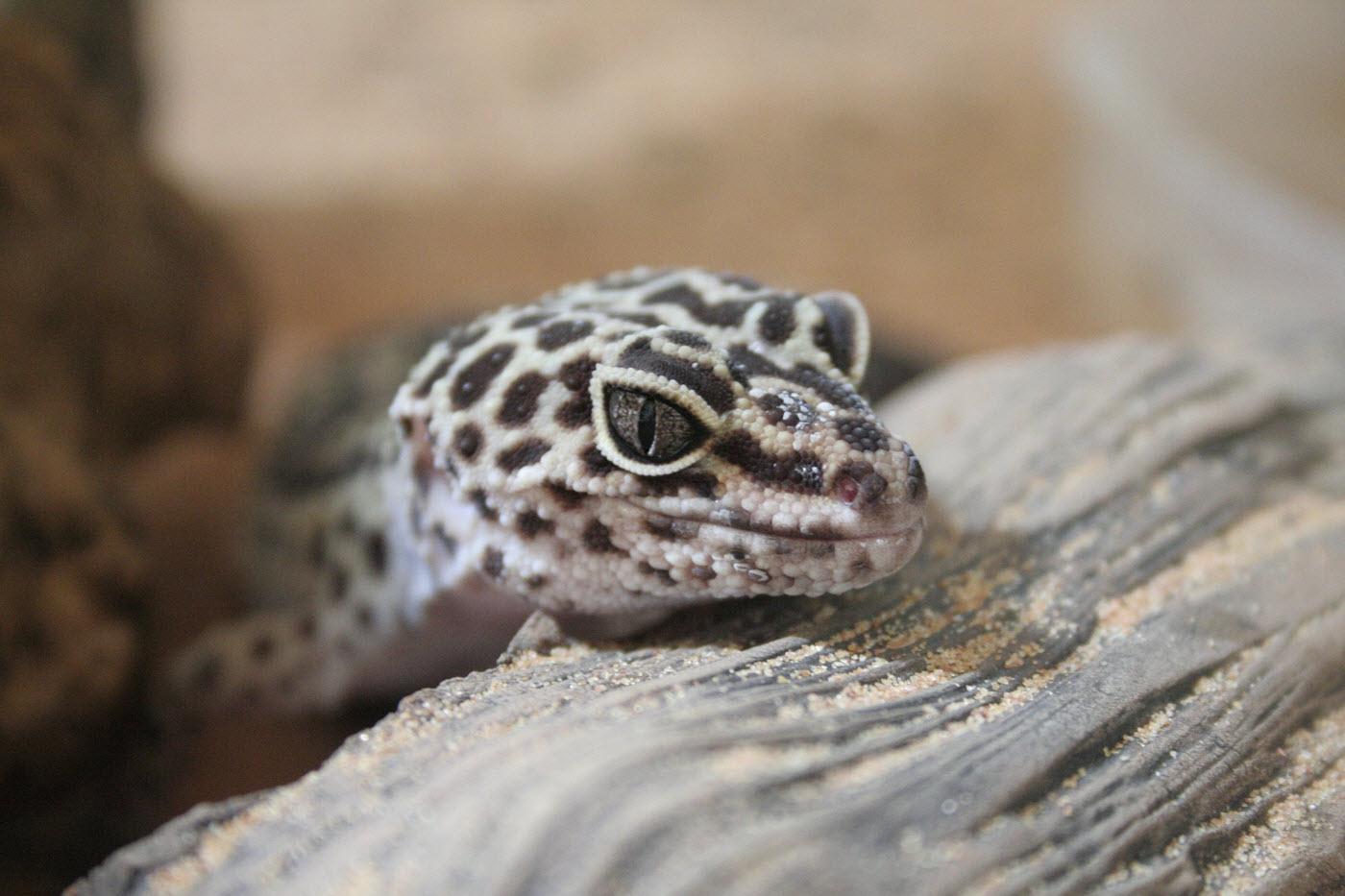avel leopardgecko