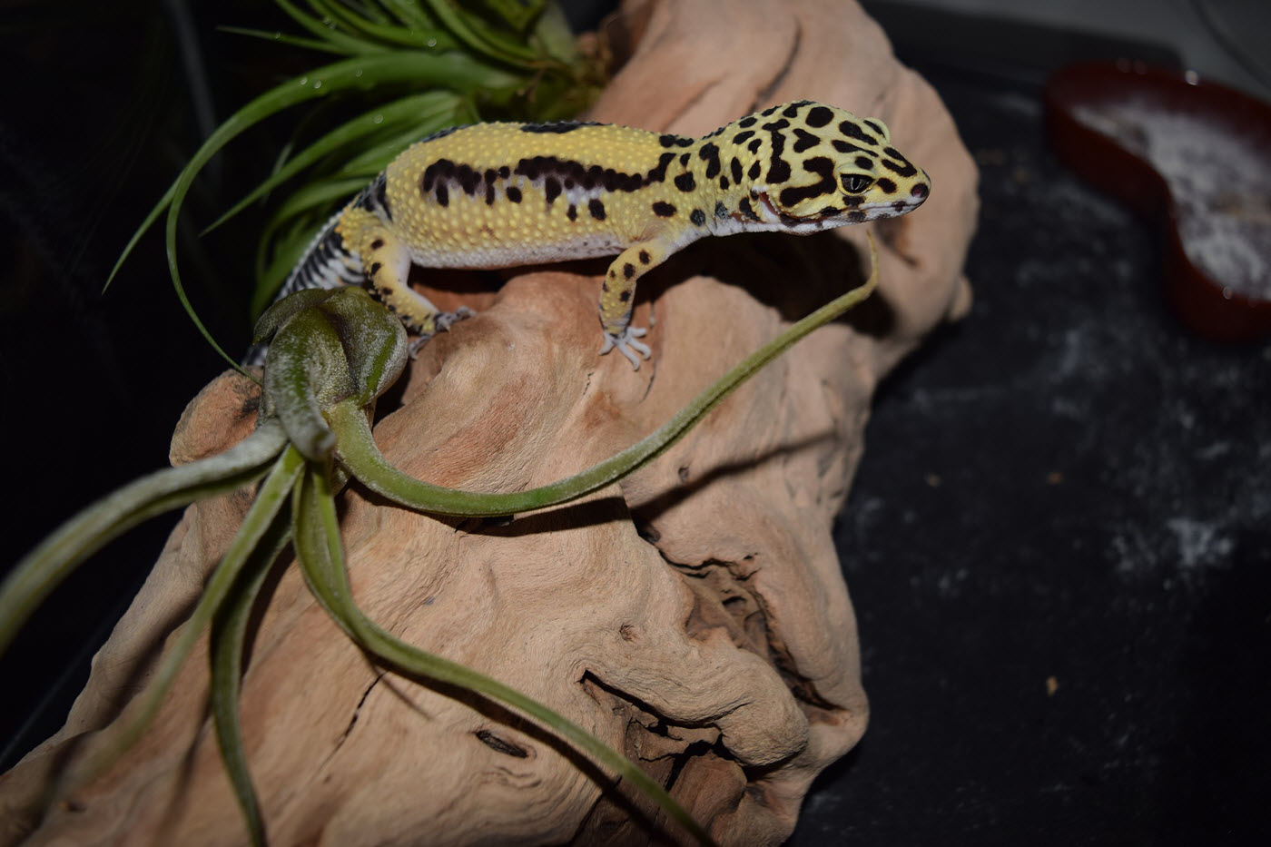 leopardgecko unge