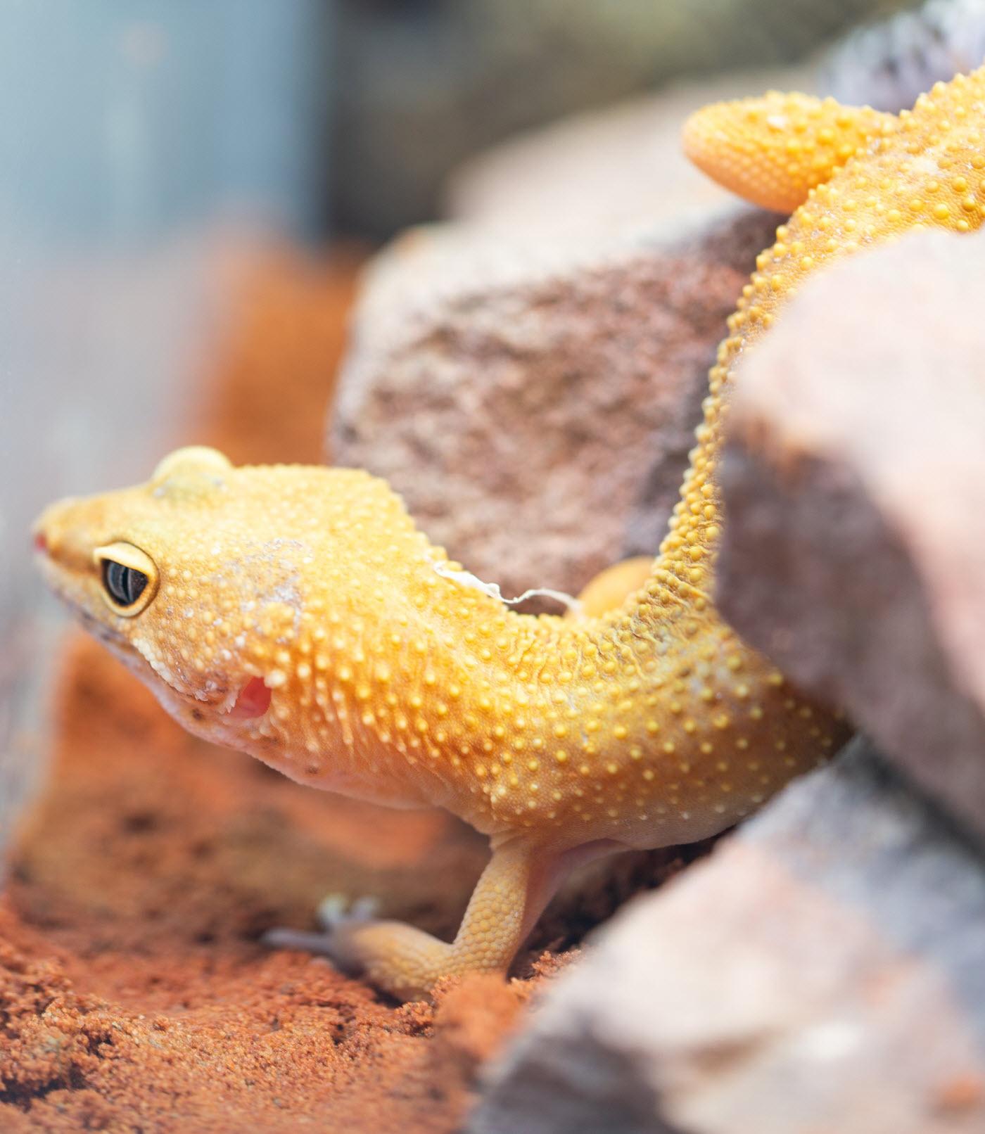 terrrium leopardgecko